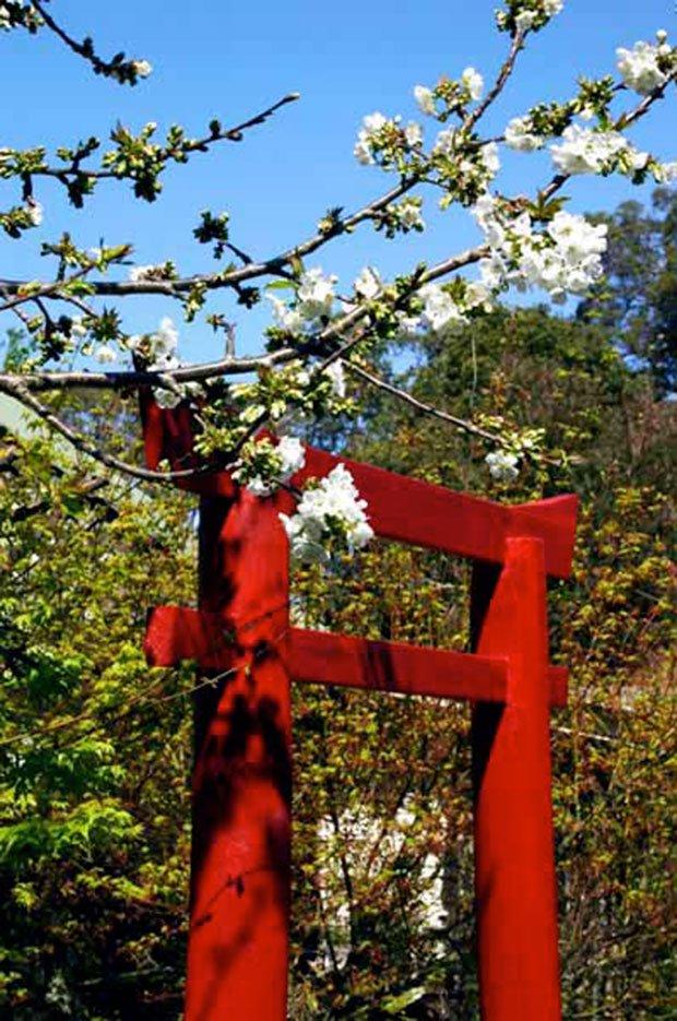 Cherry-blossom-and-tori-gate